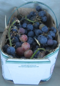 yummy wine grapes