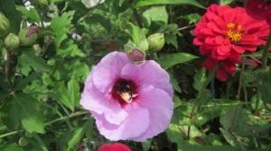 bee inside the rose of sharon flower