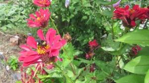 bee on a zinnia flower