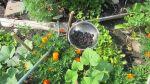 blackberries from the garden