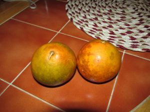 two florida oranges - fresh and tasty