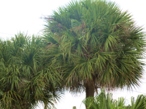 palm fronds on plam tree_florida