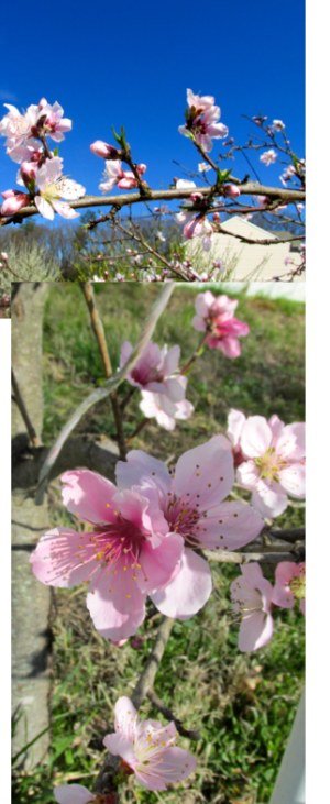 peach tree is in bloom_priorhouse