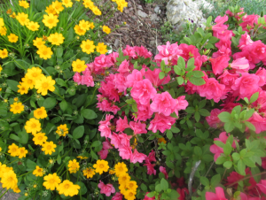 Azalea and Coreopsis-tickseed-priorhouse may 2014