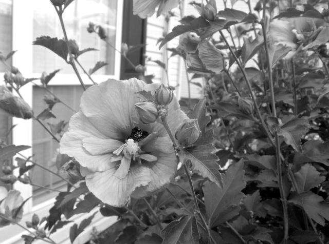 rose of sharon b & w bopaula link