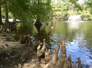 cypress-nodules-at-sawn-lake-sc