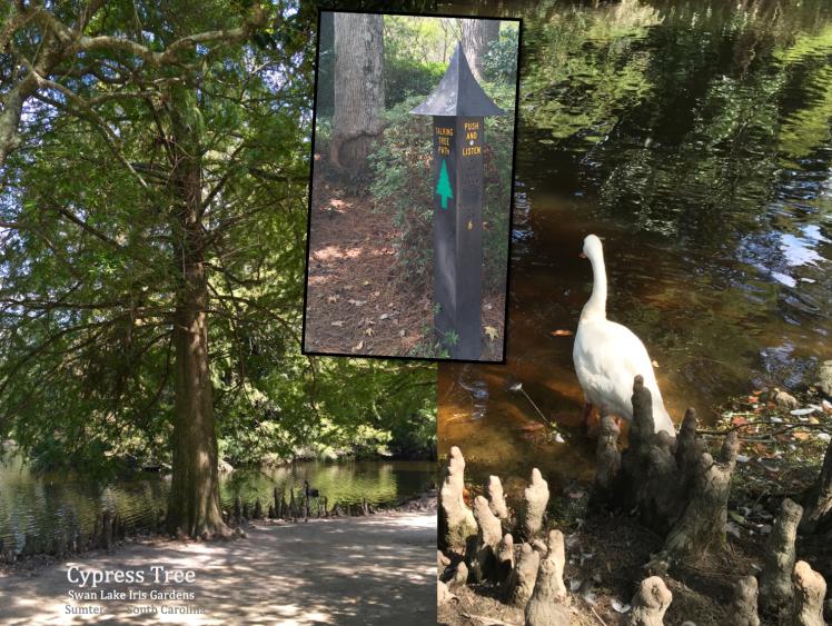 cypress-tree-swan-lake-sc-talking-tree-path