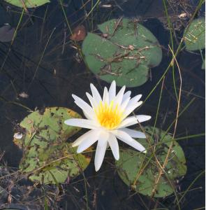 ww-flower-6-bloom-sc-2016