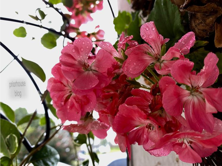 geranium - pink - hanging outside
