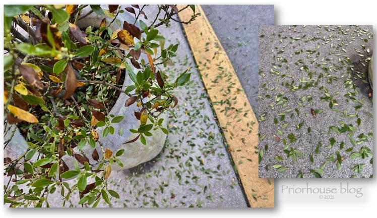 spots dots leaves dropping shrub