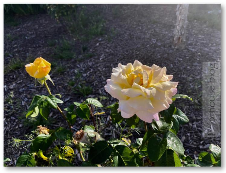 doors war mem VA freedom yellow roses