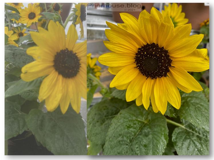 golden glow sunflower basic