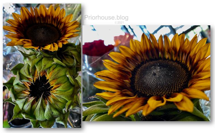 golden glow sunflower rich yellow unfolding