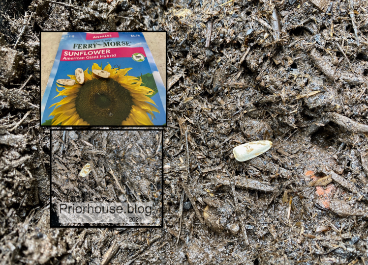 golden sunflower seeds planted and pack