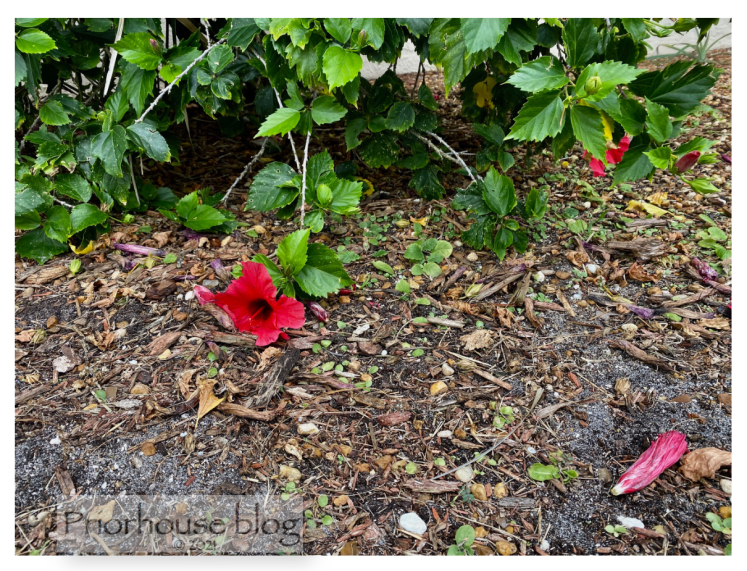 june6=rose- hibiscus flower drooping